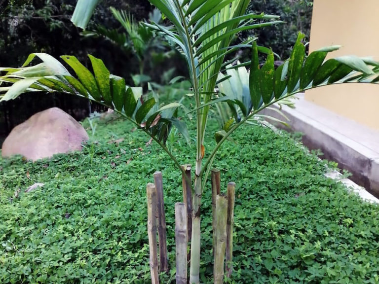 Rare palm trees are planted in the ecolodge Cordillera Escalera