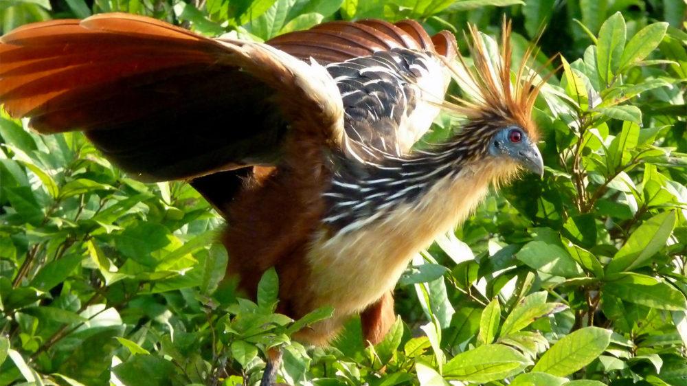 «Gallito de Oro» de la selva Amazónica